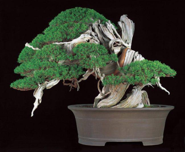 【至宝展展示】本大会のシンボル盆栽、真柏 銘「飛龍」が会場入口で皆様を出迎えます。
